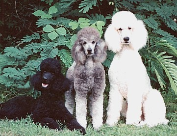 My First Three Standard Poodles All Passed On Rest In Peace Friend You Were Well Loved And Are Missed Daily