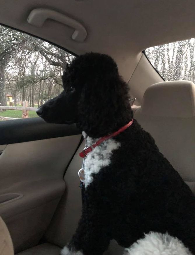 ADOPTED!! Rufus – rescue Standard Poodle male » Anutta Blog