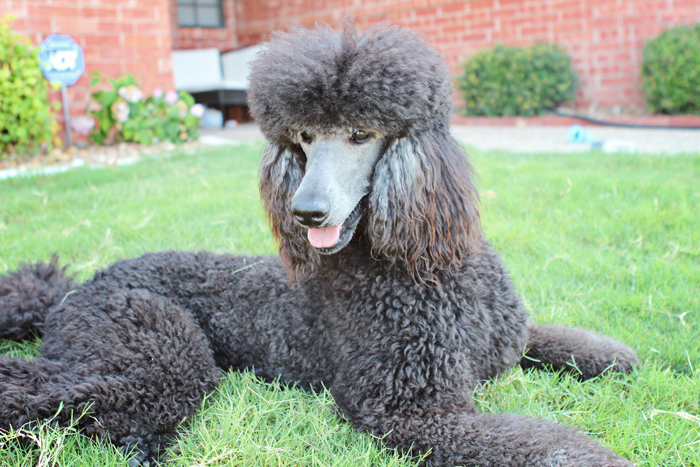 Pin Blue-standard-poodle-pictures on Pinterest